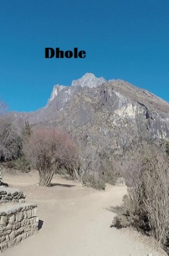 Dhole